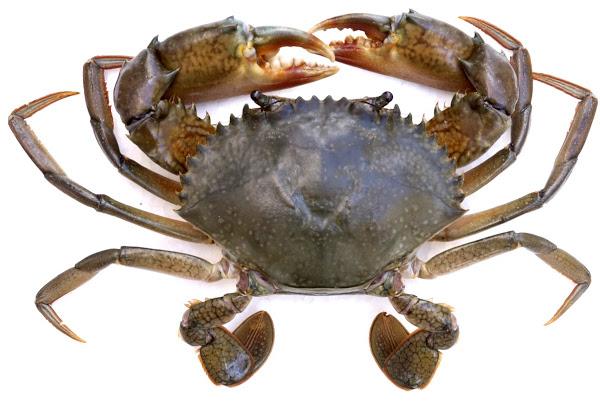 crab farming, mud crab farming, commercial crab farming, commercial mud crab farming, crab farming business, mud crab farming business, commercial crab farming business, commercial mud crab farming business